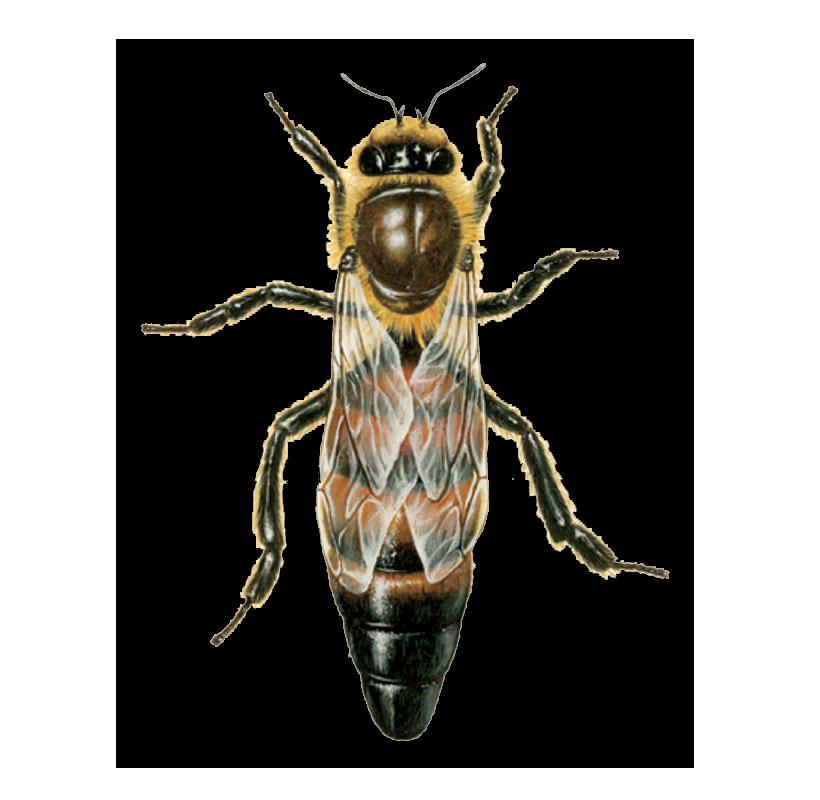 anadolu ana arı satışı